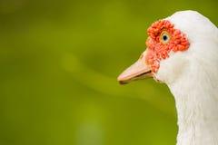 Canard près du matin d'étang image stock
