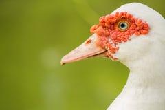 Canard près du matin d'étang images stock
