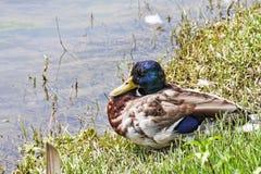Canard prêt à se reposer sur la rivière image stock