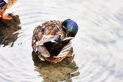 Canard prêt à se reposer sur la rivière Images stock