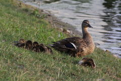 Canard protecteur de maman Images libres de droits