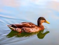 Canard rougeâtre de natation dans une réflexion d'étang et de ciel photos stock