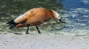 Canard rouge de marche Image libre de droits