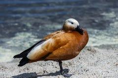 Canard rouge sur une jambe Images libres de droits