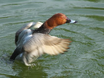 Canard roux Photos libres de droits