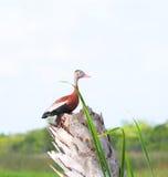 Canard sauvage à Melbourne, la Floride Image stock