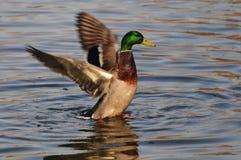 canard sauvage Images libres de droits