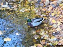 Canard sauvage Photo libre de droits