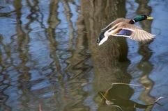 Canard sauvage Photographie stock