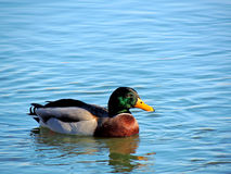 Canard sauvage Photo libre de droits