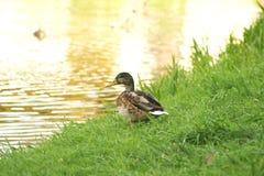 Canard sauvage 1 Photographie stock