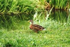 Canard sauvage 2 Image libre de droits
