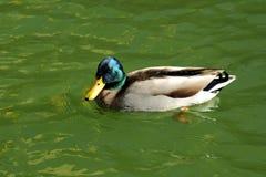 Canard sauvage Image libre de droits