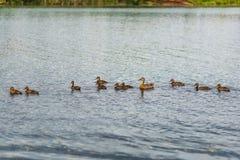 Canard sauvage avec des canetons flottant dans l'étang image stock
