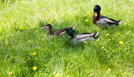 Canard sauvage dans l'herbe Photo stock