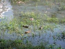 Canard sauvage dans le marais images libres de droits