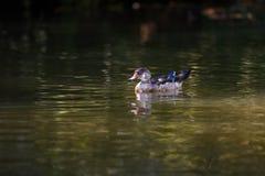 Canard sauvage dans une crique Photographie stock