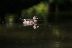 Canard sauvage dans une crique Photo libre de droits