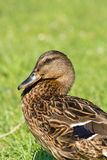 Canard sauvage de Brown (platyrhynchos d'ana) sur l'herbe verte Photo stock