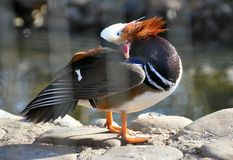 Canard sauvage de couleur Image stock