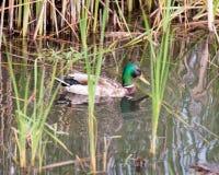 Canard sauvage de canard en rivière Photo stock
