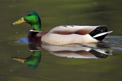 Canard sauvage simple de Mallard sur une surface de l'eau photo libre de droits