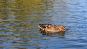Canard sauvage sur le lac banque de vidéos