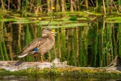 Canard sauvage sur le marais Image stock