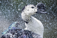 Canard sauvage tout en éclaboussant sur l'eau Image libre de droits