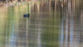Canard se reposant sur l'étang photos stock