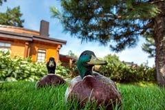 Canard se reposant sur l'herbe verte images libres de droits