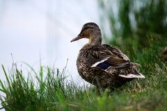 Canard se tenant près de l'étang photo stock