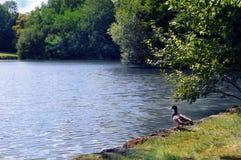 Canard se tenant prêt le lac photo libre de droits