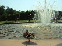 Canard se tenant prêt une fontaine aux jardins de Drottningholm, Suède photos libres de droits