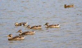 Canard seul Photo libre de droits