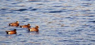Canard siffleur Photo libre de droits