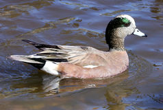 Canard siffleur Duck Drake Images stock