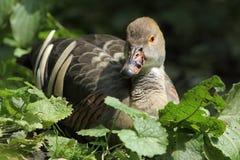 Canard siffleur emplumé Photos libres de droits