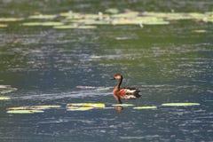 Canard siffleur errant Photos libres de droits