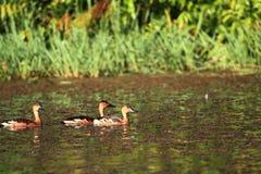 Canard siffleur errant Photo stock