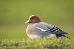 Canard siffleur eurasien Photographie stock