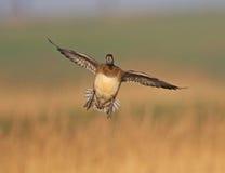 Canard siffleur eurasien Images libres de droits