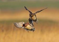 Canard siffleur eurasien Images stock