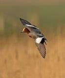 Canard siffleur eurasien Image stock