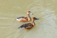 Canard siffleur fauve photo stock