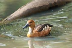 Canard siffleur fauve Photos libres de droits