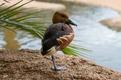 Canard siffleur fauve Image libre de droits