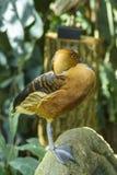 Canard siffleur fauve Photographie stock