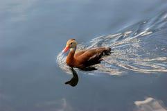 Canard siffleur gonflé par noir Photo libre de droits