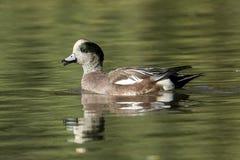 Canard siffleur masculin mignon dans l'étang Photo libre de droits